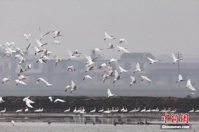 「水鸟1250」35万余只水鸟迁抵中国最大淡水湖鄱阳湖