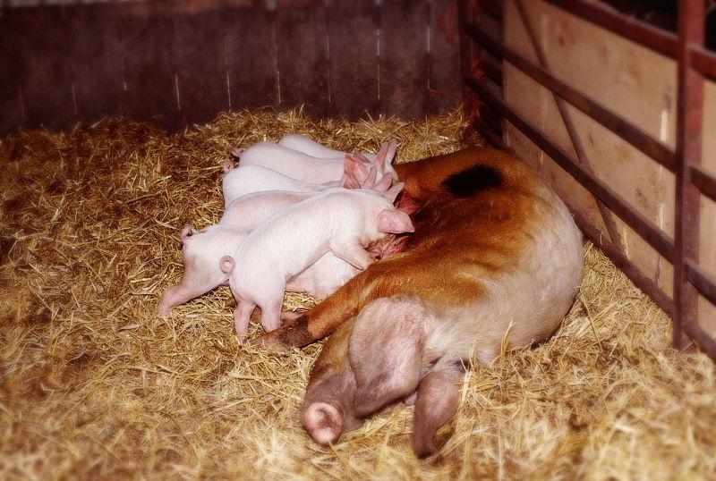 后備母豬的飼養管理與保健