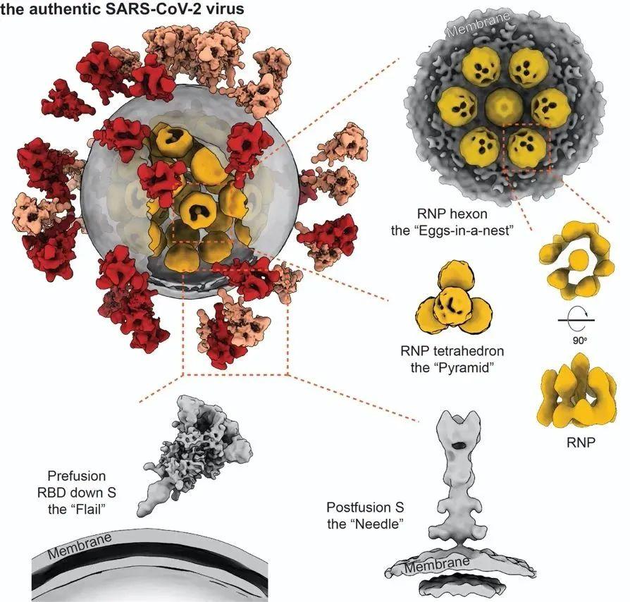 我国揭示首个新冠病毒全病毒精细结构