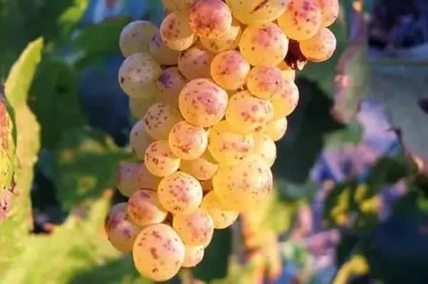 世界上最贵的葡萄价值7万人民币