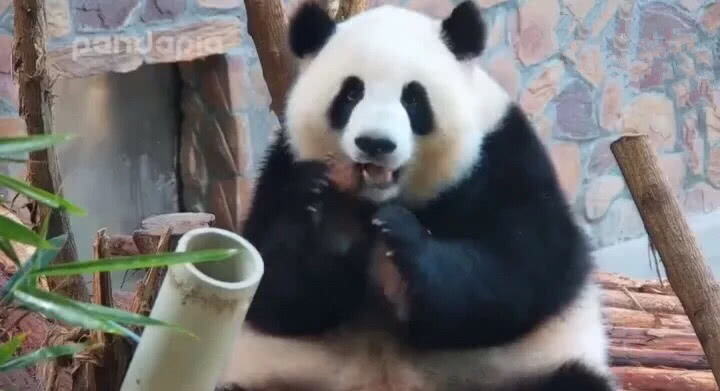 大熊猫囡囡:自带柔光的吃货战斗机