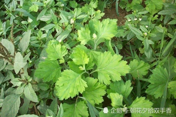 """此野草被人们称为""""平安草"""",全株能散发出香味,食用入药皆可"""