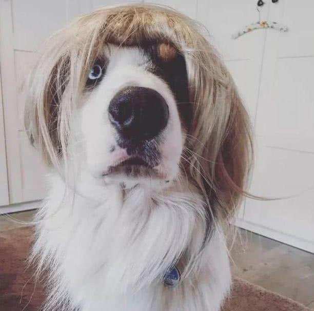 主人给狗戴假发,狗子一脸茫然主人却笑哭了,狗:我不要面子的啊