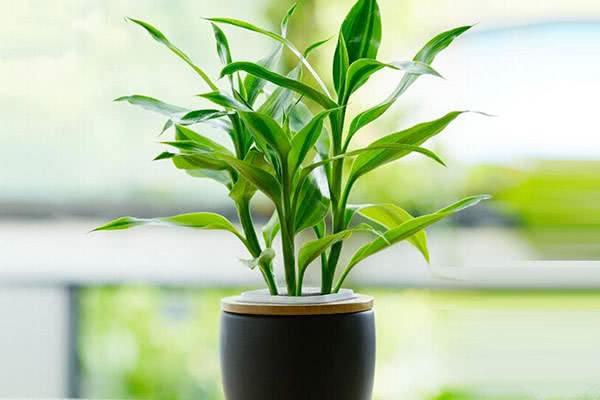 新手入门养殖绿植花卉之二,懒人养法的富贵竹,名字好听寓意深远
