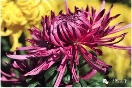菊花如端人,独立凌冰霜。