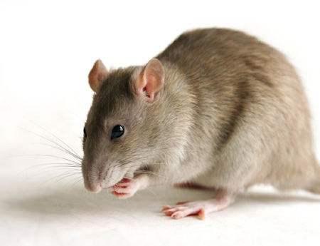 齐白石名画:3只老鼠偷油灯,表情充满趣味性,价值超过1个亿
