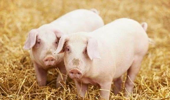 """通过对""""窝源性状""""的分析,了解母猪的终身生产力"""