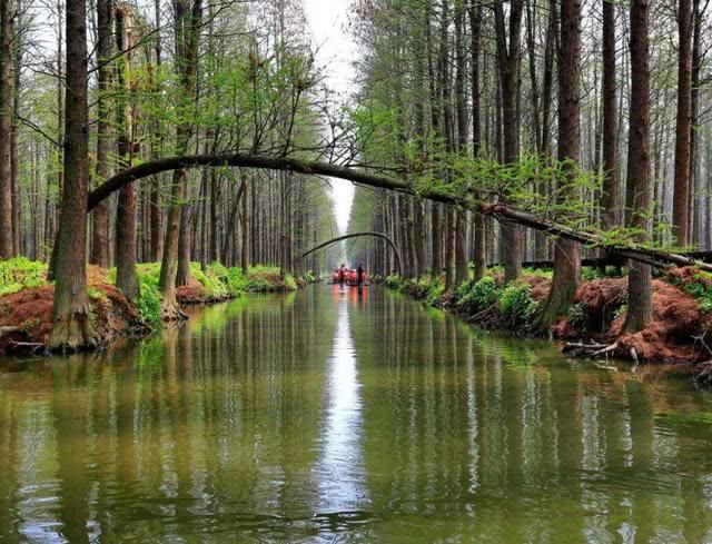 江苏独特的生态林,穿梭在林间,感受树木独特的生长方式