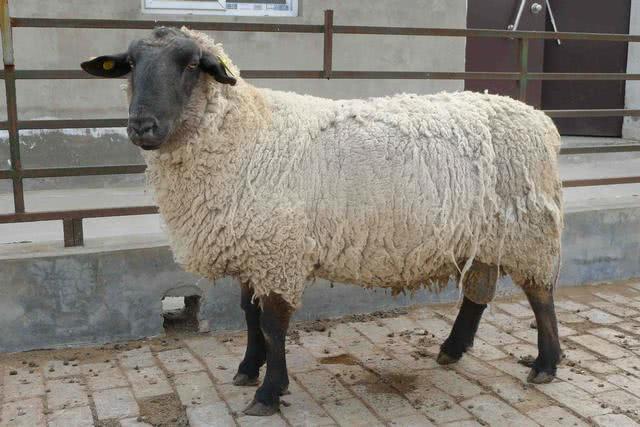 被主人强行剃毛之后的公羊,彻底怒了,下一秒你别笑
