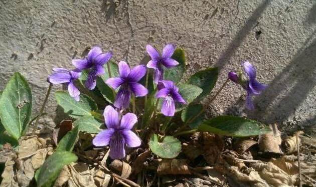 """春天常见的小野花,长在墙角别拔掉,价值很高,老人说能""""救命"""""""