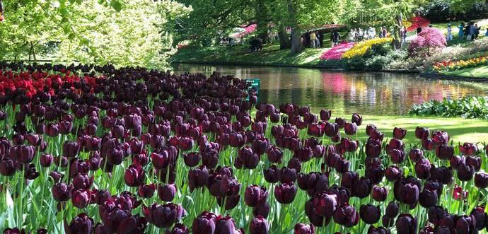<b>春季去荷兰库肯霍夫公园赏花,这里可是有700万株郁金香呀</b>