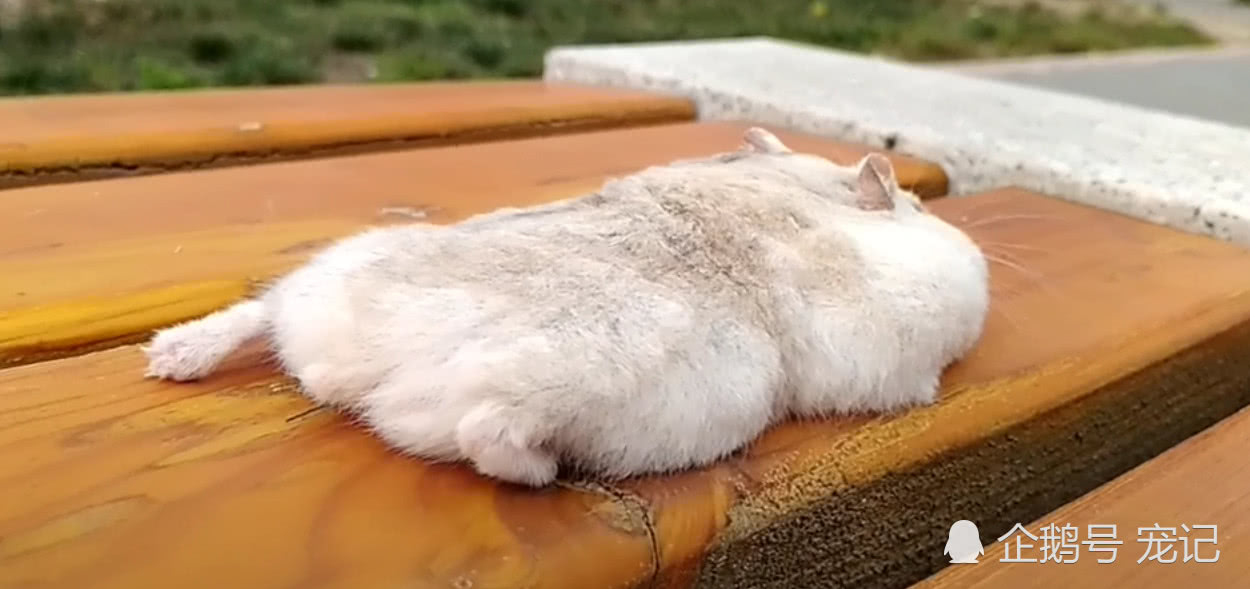 仓鼠躺在椅子上,一动不动像是被黏住一样,网友:鼠片!
