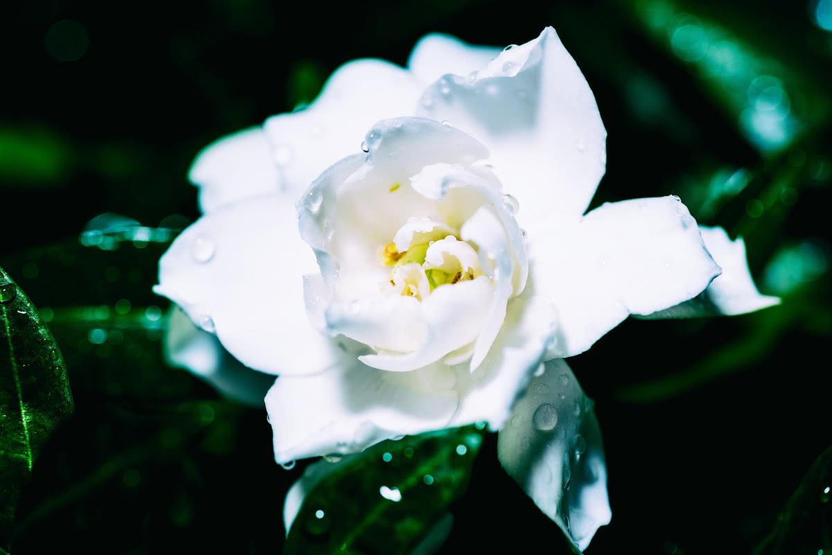 唯美的白色系花卉,点亮你的家居生活,栀子花开