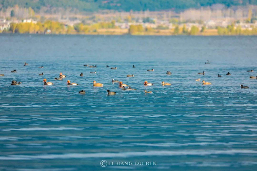「拉市海有必要去吗」3万多美丽精灵空降丽江拉市海……