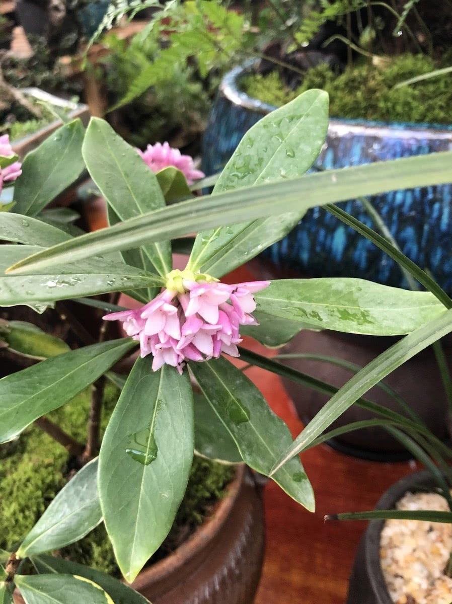 美丽绿色神奇的金边瑞香,需要这样养护,下次开花爆盆香满屋!