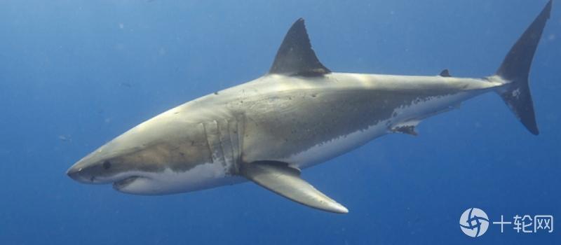 <b>与海洋组织合作,使用EinsteinAI来关注野生大白鲨</b>