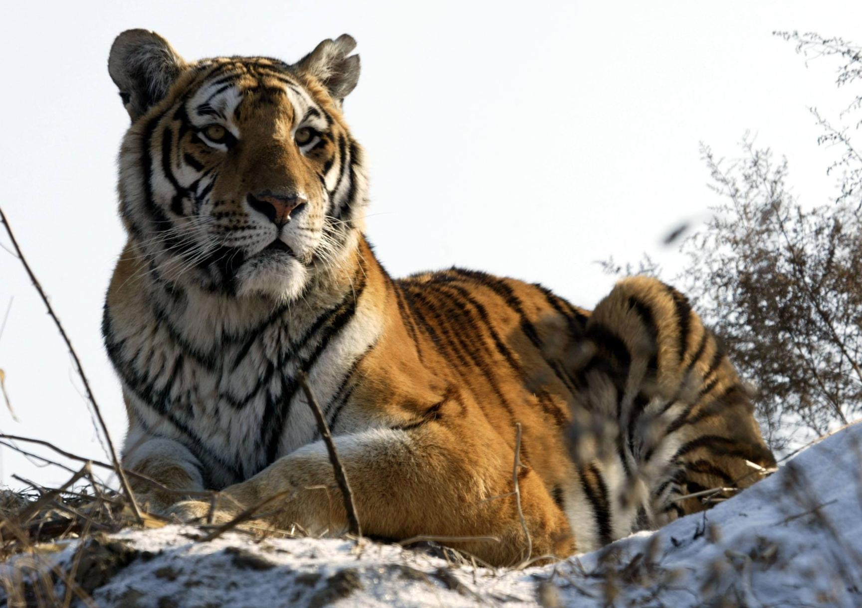 东北虎身长3米重达260公斤,几乎没有对手,为何还濒临灭绝?