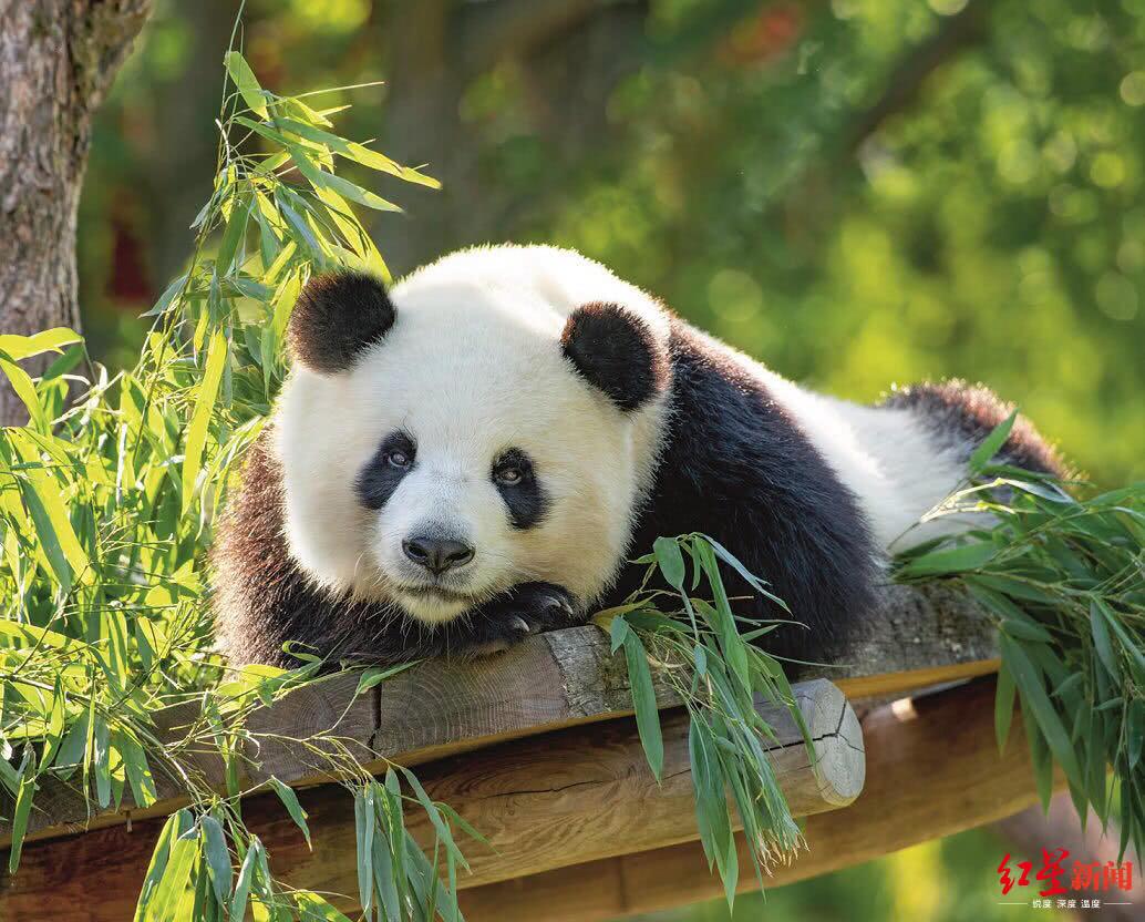 """成都旅德大熊猫""""梦梦""""或将迎来新生宝宝"""