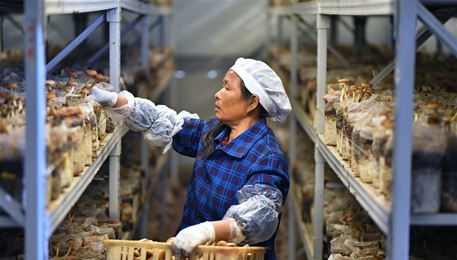 「茶树菇产自」江西赣州:茶树菇产业助农增收