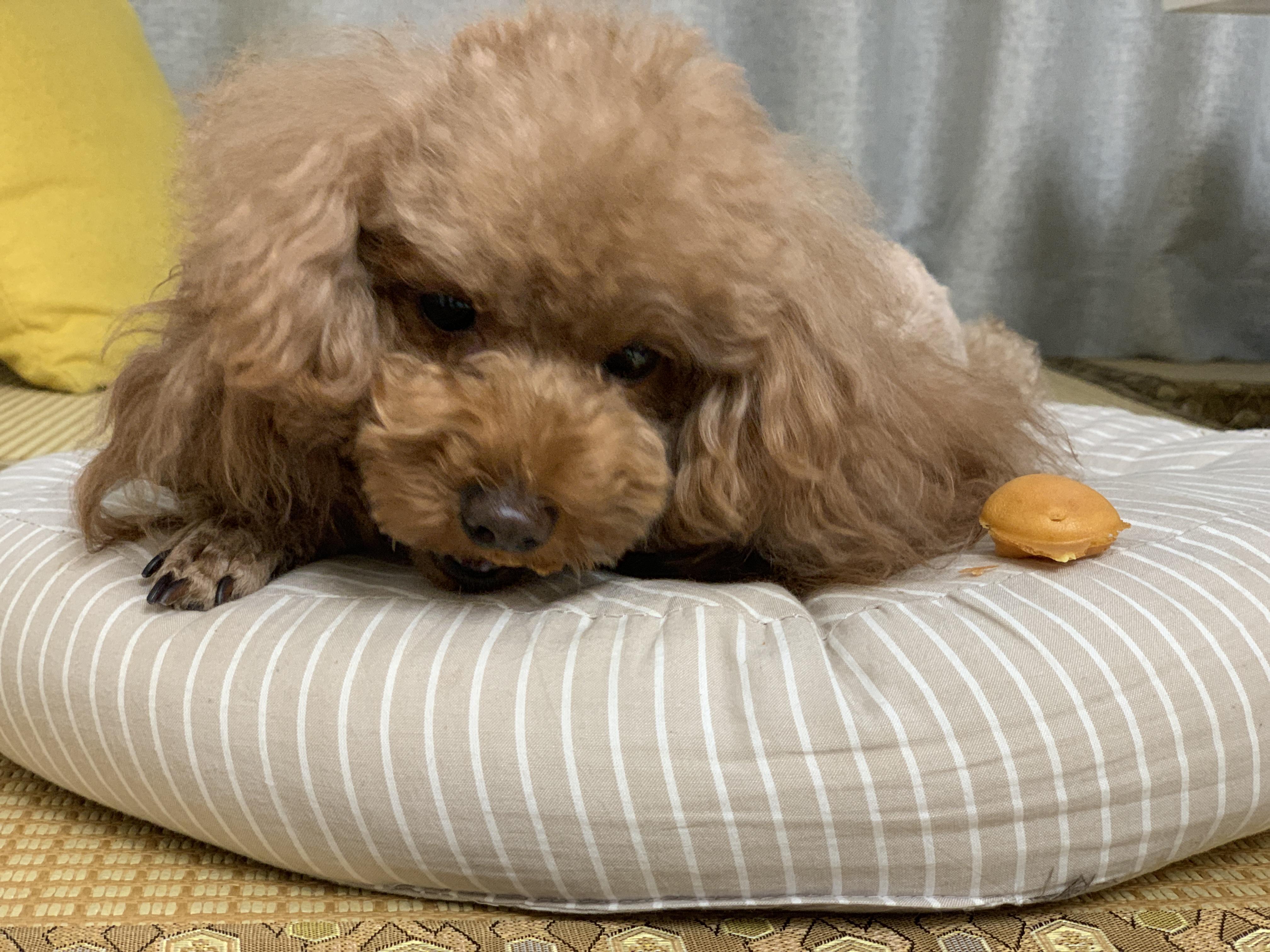 主人给了狗狗一块鸡蛋仔,它当成宝贝藏起来不舍得吃