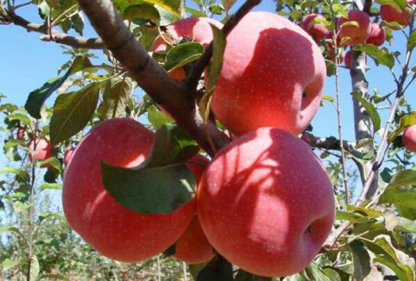 苹果什么时候吃对身体更好?一篇文章告诉你全部知识!