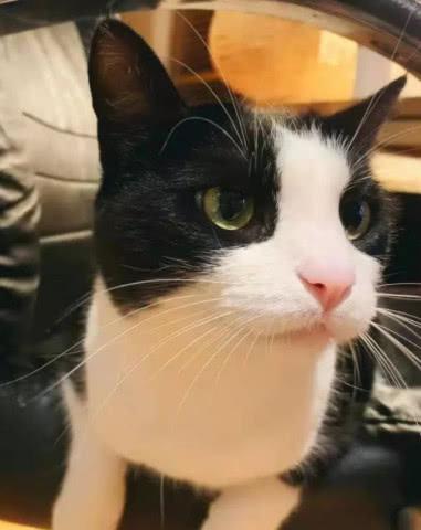 主人悄悄给奶牛猫拍照,小表情太萌了,结果偷拍被猫咪发现后……