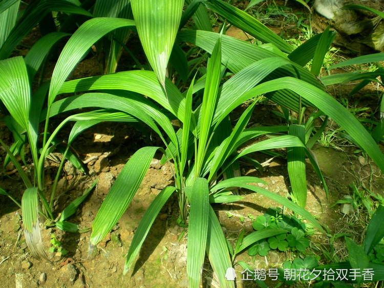 农村这种野生植物,农民常视其为杂草,殊不知市场价百元一斤