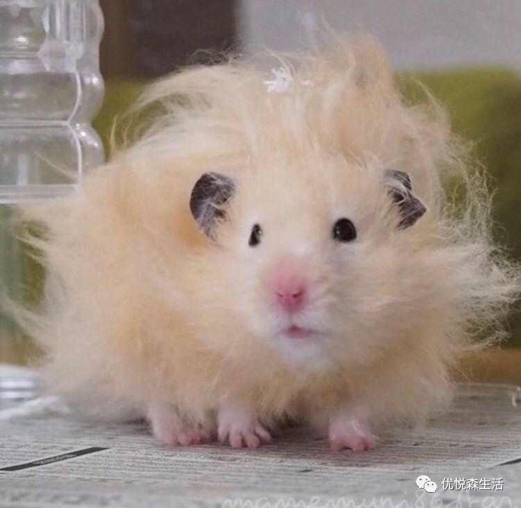 这位凌乱的长毛仓鼠,发量让人羡慕……