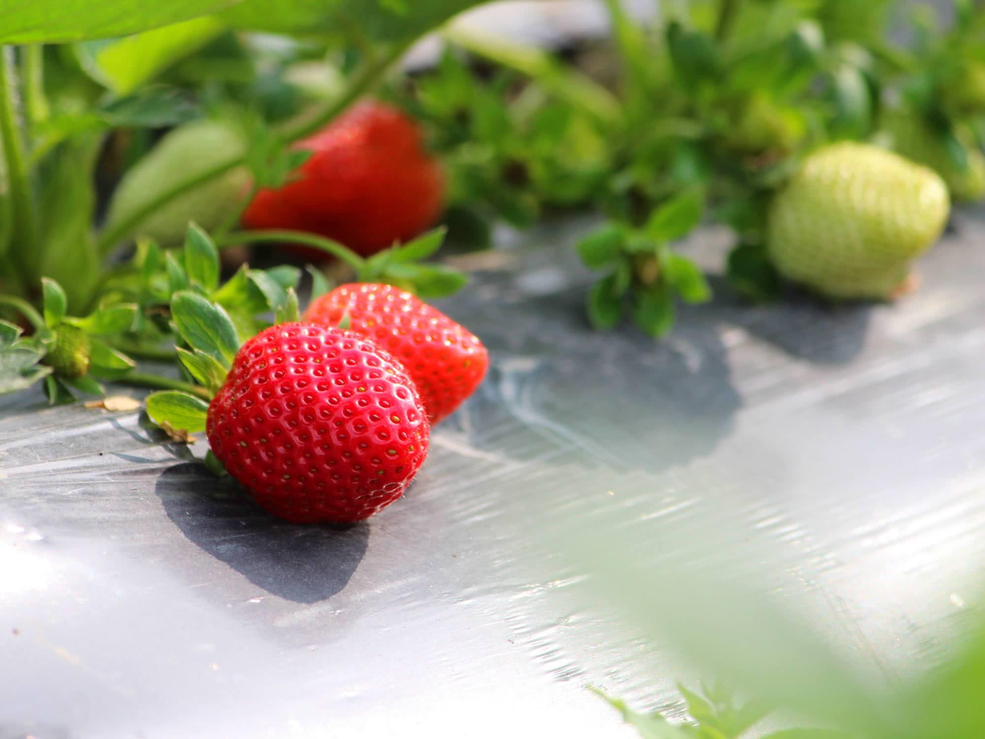 草莓上色不均匀怎么办?水溶肥有用吗?