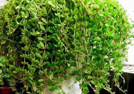 10种垂吊植物,美翻啦,你还只知道绿萝吗