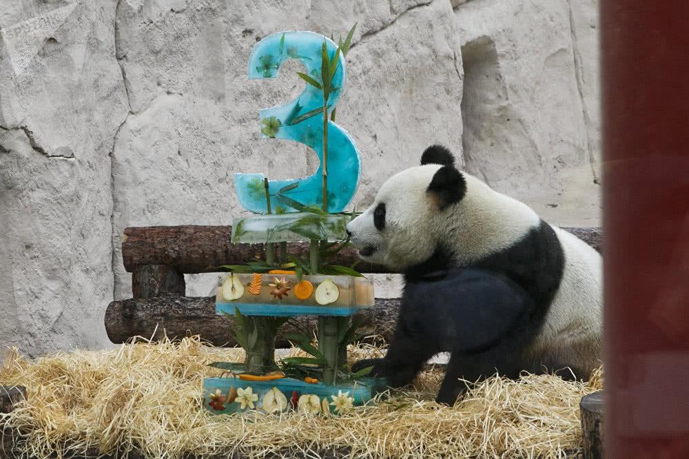 俄动物园为旅俄滚滚庆生,游客冒雨唱生日歌