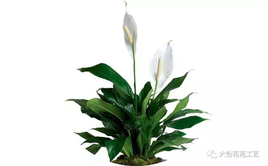 开花像小船的漂亮花卉,客厅摆一盆美观又大方,名字寓意特别好