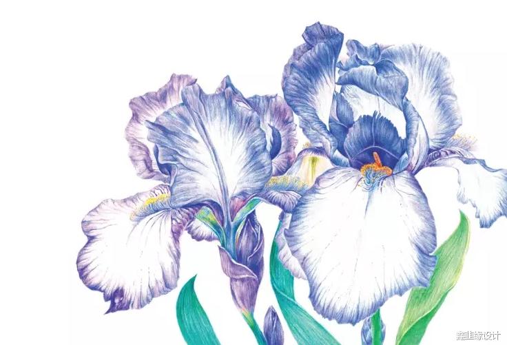 彩铅教程----用彩色铅笔画一朵优雅浪漫的鸢尾花