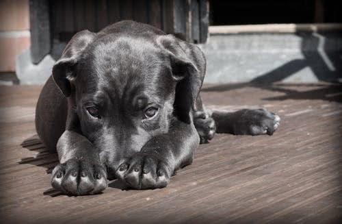 辟谣:并非所有狗狗都是年纪大才会老,铲屎官要警惕幼犬衰老问题