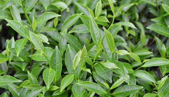 茶叶帮助消化、护发明目,农民种植时掌握5点,收获高产优质茶叶