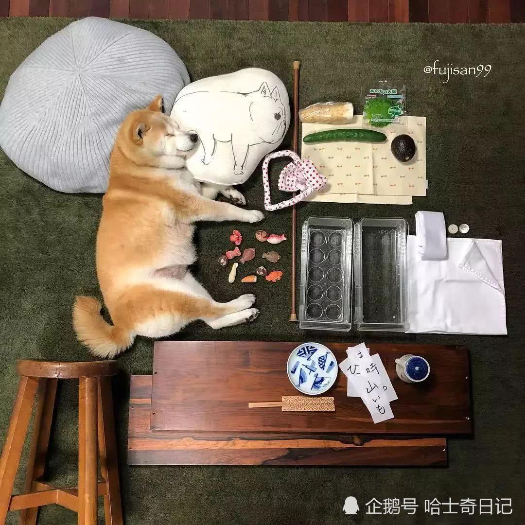 睡个觉也能成网红!柴犬因为太能睡而受关注,大伙只为