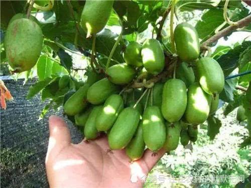 这种果树有土就能活,不用管理结果多,要不要试试?