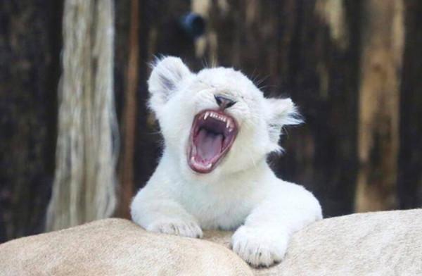 罕见白色小狮子,全球只有上百只,霸气中自带一股神圣气质