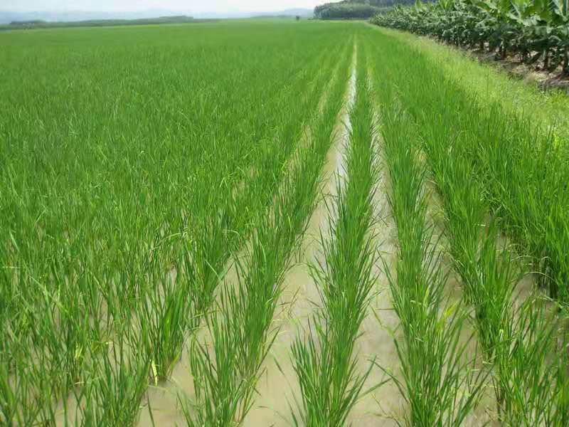 水稻亩产能超过1400斤吗掌握这些要点,还是可以试试的!
