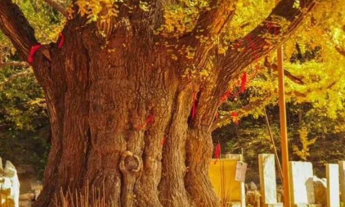 济宁古树名木的四大树种:槐树、柏树、楷树、银杏