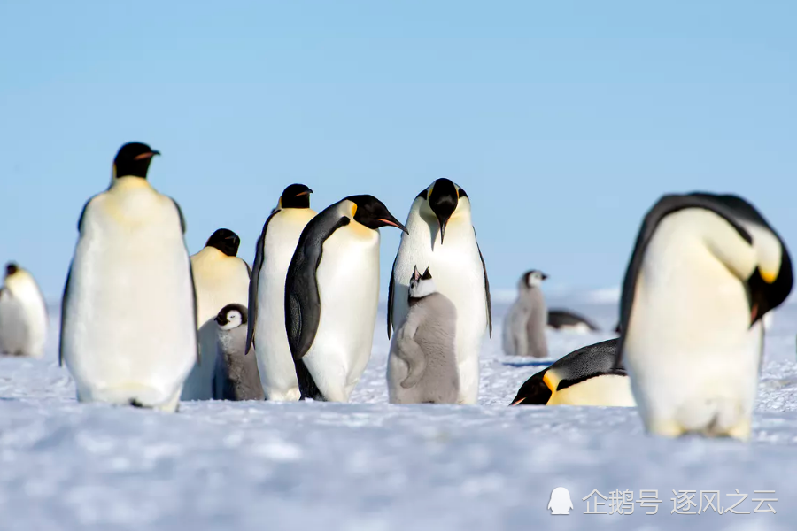 南极水域冰冷无比,为什么企鹅就不怕冷?