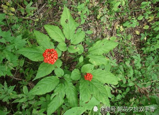 农村常见的野生果子,味道苦没人肯吃,殊不知地下根部是宝贝