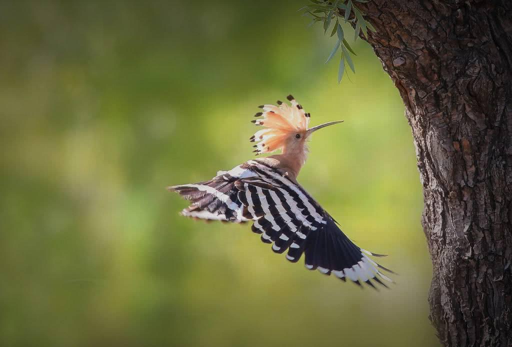 戴胜鸟为什么叫棺材鸟?看着像啄木鸟,却一身臭烘烘的味道