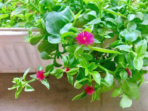 此花,沾土就活,便宜好养,观赏食用两不误,花开似樱花美极了
