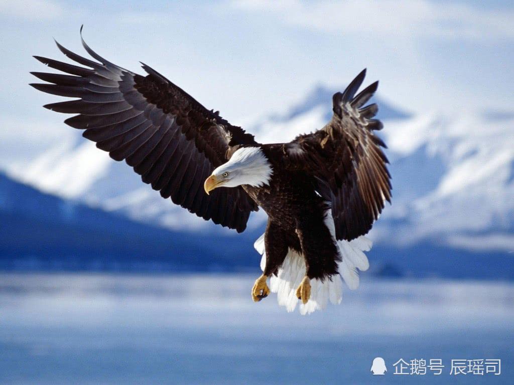 当之无愧的空中霸王——鹰,能携带几十千克重的猎物飞行,你敢相信吗?