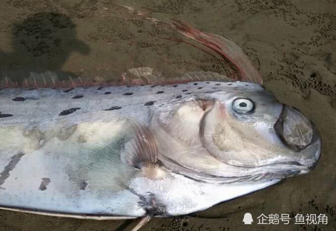 地震鱼现身是大地震前兆?日本大学研究:相关性极低,纯属迷信!