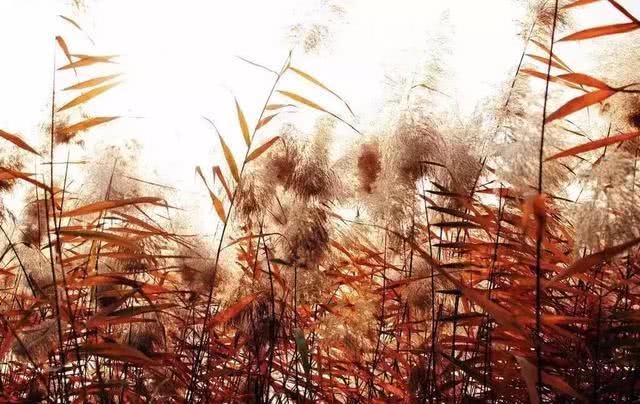 秋天要来了,快来设计一场有芦苇花的婚礼吧