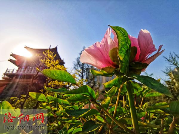 快来看!王城公园、中国国花园已有牡丹开放