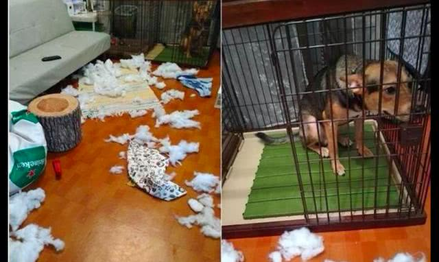 狗狗犯了错之后,自己默默走进笼子里,还吐舌头卖萌求主人原谅!