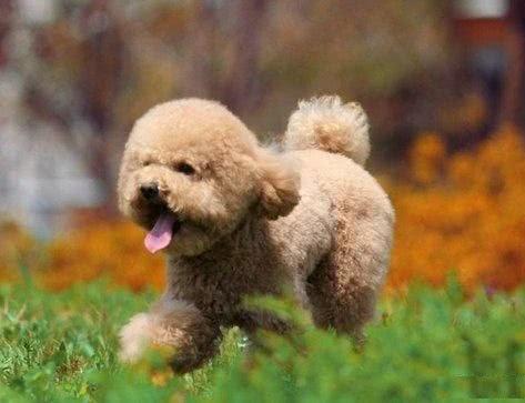 如何挑选到一条性格理想的泰迪幼犬,掌握这些知识和技巧就不难了